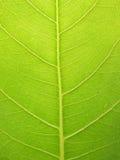 Zielony bodhi liść z wody kropli tłem Zdjęcie Royalty Free