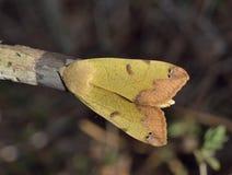 Zielony Brązowawy ćma fotografia stock