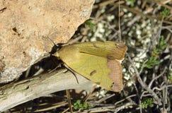 Zielony Brązowawy ćma zdjęcia stock