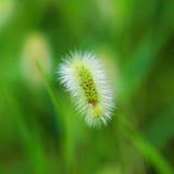 Zielony bristlegrass fotografia stock