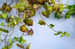 Zielony brown bluszcz zdjęcie royalty free