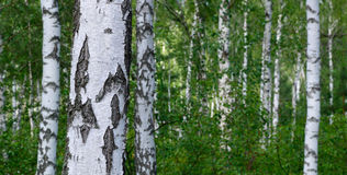zielony brzoza gaj Zdjęcia Stock