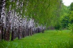 zielony brzozy drewno Zdjęcia Stock