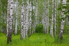 zielony brzozy drewno Fotografia Stock