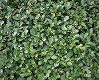 Zielony bujny zasadza tekstury tło, zakończenie w górę krzaka obrazy royalty free