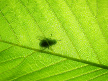 Zielony bukowy liść, (1) makro z komarnicą fotografia stock