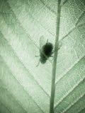 Zielony bukowy liść, makro- (17) Obraz Royalty Free