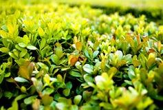 Zielony Bush Zdjęcia Stock