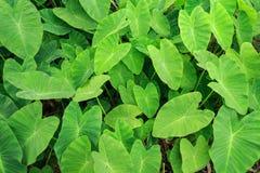 Zielony Caladium rośliny las Zdjęcie Stock