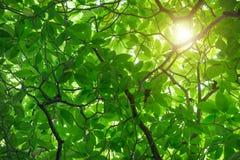 Zielony Cananga odorata drzewo jest tropikalnym drzewem który zapoczątkowywa wewnątrz Zdjęcia Stock
