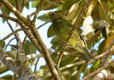 Zielony Catbird w dzikiej figi drzewie Zdjęcia Royalty Free