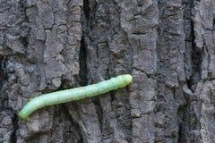 Zielony Caterpillar Fotografia Royalty Free