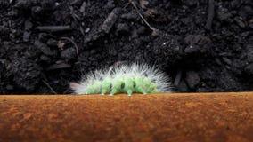 Zielony Caterpillar Zdjęcia Stock