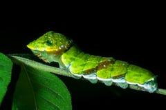 Zielony Caterpillar na czarnym tle Zdjęcie Stock