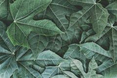 Zielony chaya lub meksykanina szpinak opuszczamy tło tropica obrazy stock