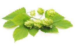 zielony chmielu Obrazy Stock