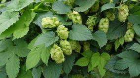 zielony chmielu piwa gron składnika zieleni żniwo podskakuje Obrazy Stock
