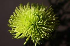 Zielony chryzantema kwiat przeciw czarnemu tłu fotografia stock