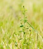Zielony cierń w parku na naturze Fotografia Stock