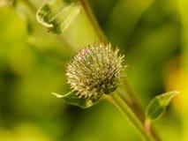 Zielony ciernia oset z pająk sieciami fotografia royalty free