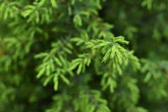 Zielony conifer na greenery tle Zdjęcia Royalty Free