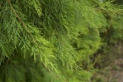 Zielony conifer tło Greenery tło Obraz Stock
