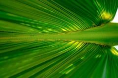 Zielony cukrowy palmowy liść Selekcyjna i miękka ostrość Obraz Stock