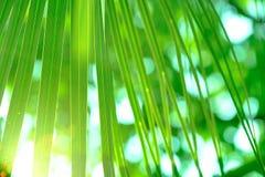 Zielony cukrowy palmowy liść Selekcyjna i miękka ostrość Obraz Royalty Free