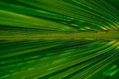 Zielony cukrowy palmowy liść Selekcyjna i miękka ostrość Obrazy Stock