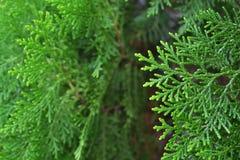 Zielony cyprysowy drzewo, makro- Obrazy Royalty Free