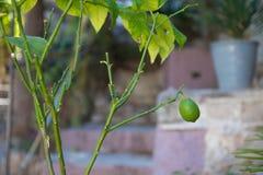 Zielony cytryny obwieszenie od drzewa zdjęcia royalty free
