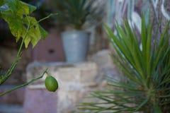 Zielony cytryny obwieszenie od gałąź obrazy stock