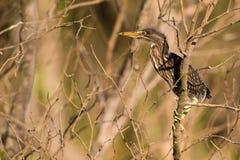 Zielony Czapli kurczątko Południowa Afryka Fotografia Stock