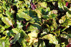 Zielony czerwonych wierzchołków korzeniowego warzywa burak w ogródzie w anglikach uprawia ogródek (liście) Obrazy Stock