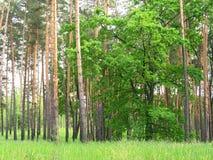 Zielony dąb w sosnowym lesie w wiośnie zdjęcie royalty free