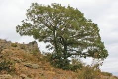Zielony dębowego drzewa dorośnięcie na zboczu Zdjęcie Stock