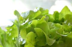Zielony dębowy świeży warzywo zbiera w gospodarstwie rolnym Zdjęcie Royalty Free