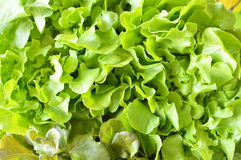 Zielony dębowy świeży warzywo zbiera w gospodarstwie rolnym Zdjęcia Royalty Free