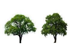 zielony dębowy drzewo dwa zdjęcia stock