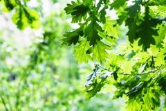Zielony dębowy ulistnienie w lato deszczowym dniu obraz royalty free