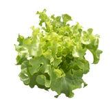 Zielony dębowy warzywo odizolowywający To ścinek ścieżkę Zdjęcie Stock