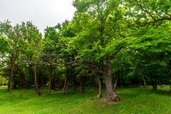 zielony dąb Obrazy Stock