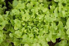 Zielony dąb na jarzynowym ogródzie Obrazy Royalty Free