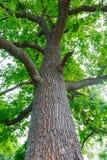 Zielony dębowy drzewo Zdjęcie Stock