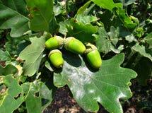 Zielony dębowy drzewo w wczesnym Czerwu Fotografia Royalty Free