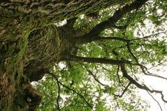 zielony dębowy stary Zdjęcie Royalty Free