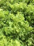 Zielony dębowy warzywo Zdjęcia Stock