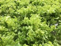 Zielony dębowy warzywo Obraz Royalty Free