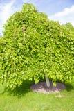 Zielony deciduous drzewo stoi samotnie Zdjęcia Royalty Free