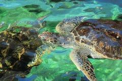 zielony denny żółw Zdjęcia Royalty Free